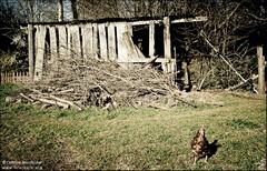 La cabane et la poule