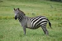 Asal-Usul-Kulit-Belang-Si-Zebra