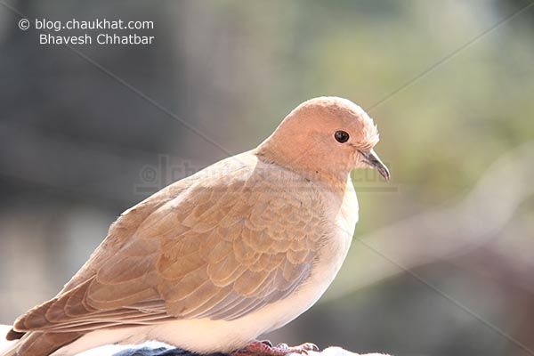 A Laughing Dove [Stigmatopelia senegalensis] - Little Brown Dove