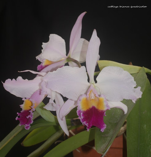 cattleya trianae quadricolor? IMG_1218B%2520%2528Medium%2529