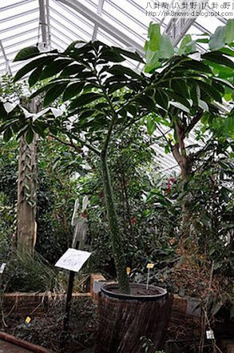 250px-Amorphophallus_titanum_%28Araceae%29_-_reuzenaronskelk_Nationale_Plantentuin_Meise_10-01-2010_14-37-22.jpg