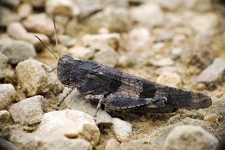 Para ampliar Oedipoda caerulescens (Saltamontes de ala azul) hacer clic