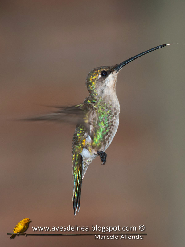 Picaflor de barbijo (Blue-tufted Starthroat)
