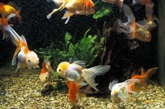 acquario-pesci-rossi