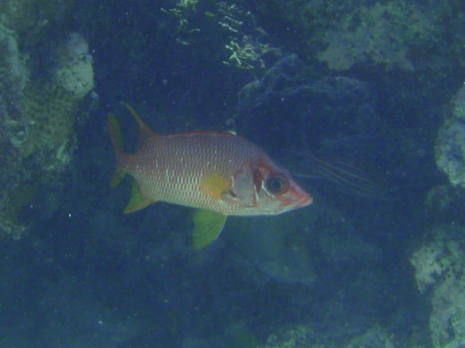 Sargocentron spiniferum (Sabre Squirrelfish), Aitutaki.