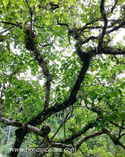 Kleinhovia hospita, Guest Tree