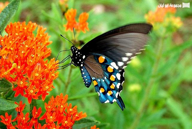 اجمل ملكة جمال الحشرات ؟؟؟؟ D%2520%252812%2529
