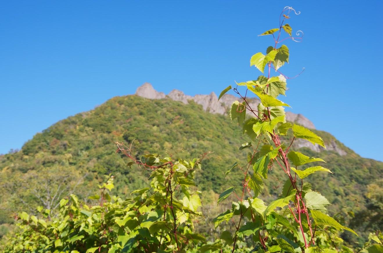 八剣山に伸びるワインの蔓