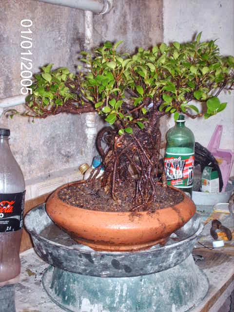 Ficus Microcarpa do Roberto Teixeira... PICT1702