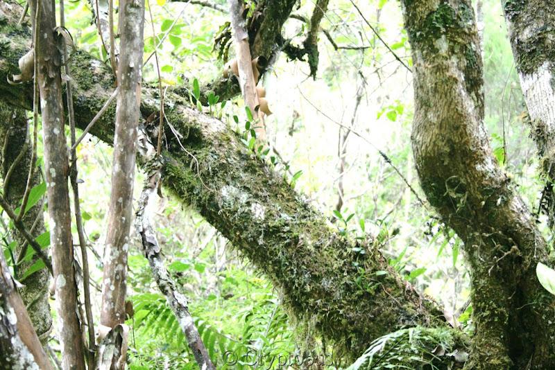 Orchidées in situ, sur l'ile de la Réunion IMG_2202