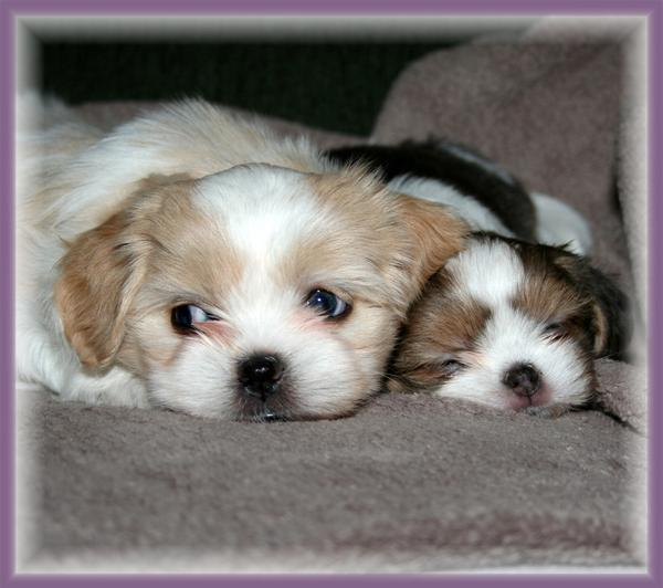 Gorgeus Cute Puppies Seen On www.coolpicturegallery.us