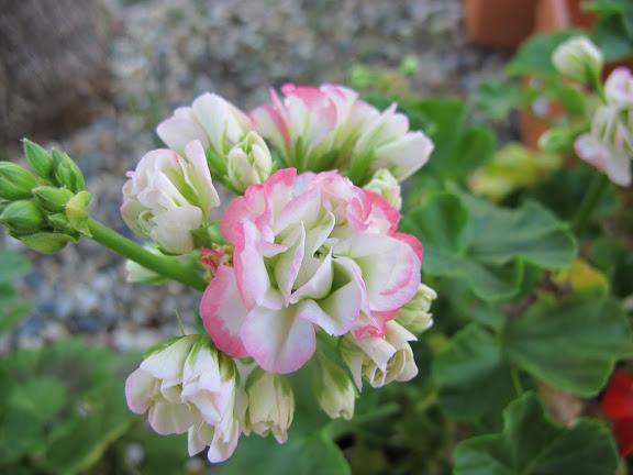 Rempotage géranium. ( Pelargonium) Usha%252520134