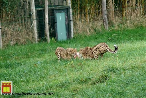 cheetahs vieren hun eerste verjaardag Zoo Parc Overloon (16) 11-11-2012.JPG