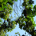 Flying Foxes nesting in trees at the Rain Forest Picnic Area in Blackbutt Reserve (399715)
