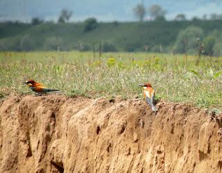 Prigoria Merops apiaster Wildlife Photography