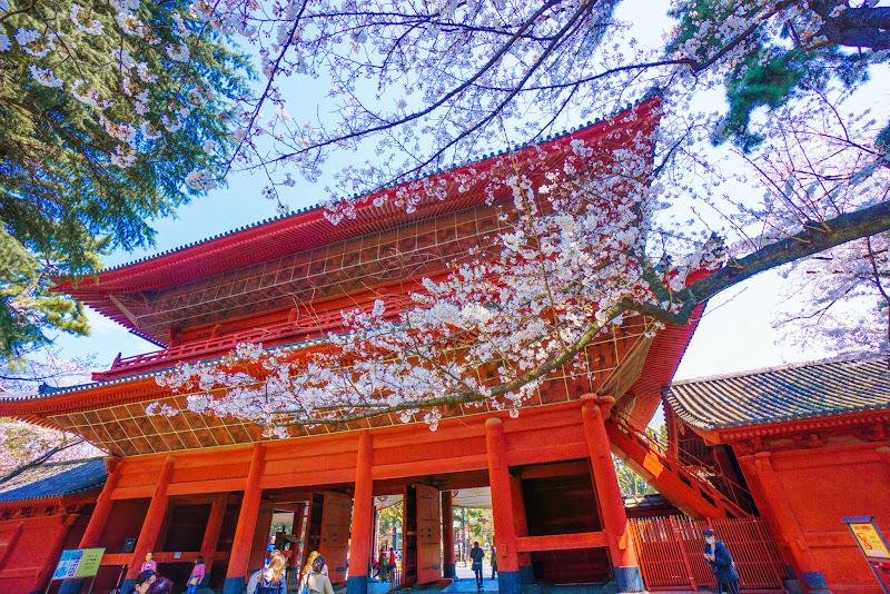増上寺 桜 写真 3