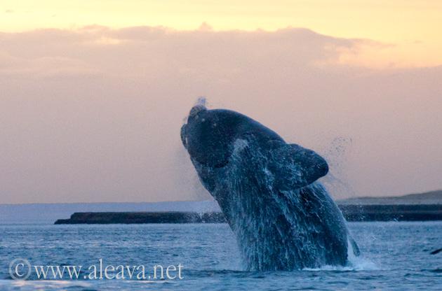 salto de ballena en un avistaje al amanecer