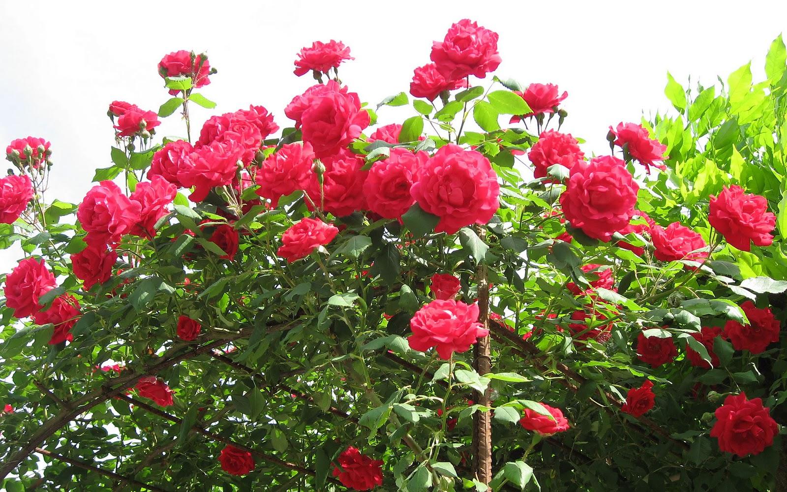 Rozen desktop achtergronden hd wallpapers - Beautiful red roses wallpapers desktop ...