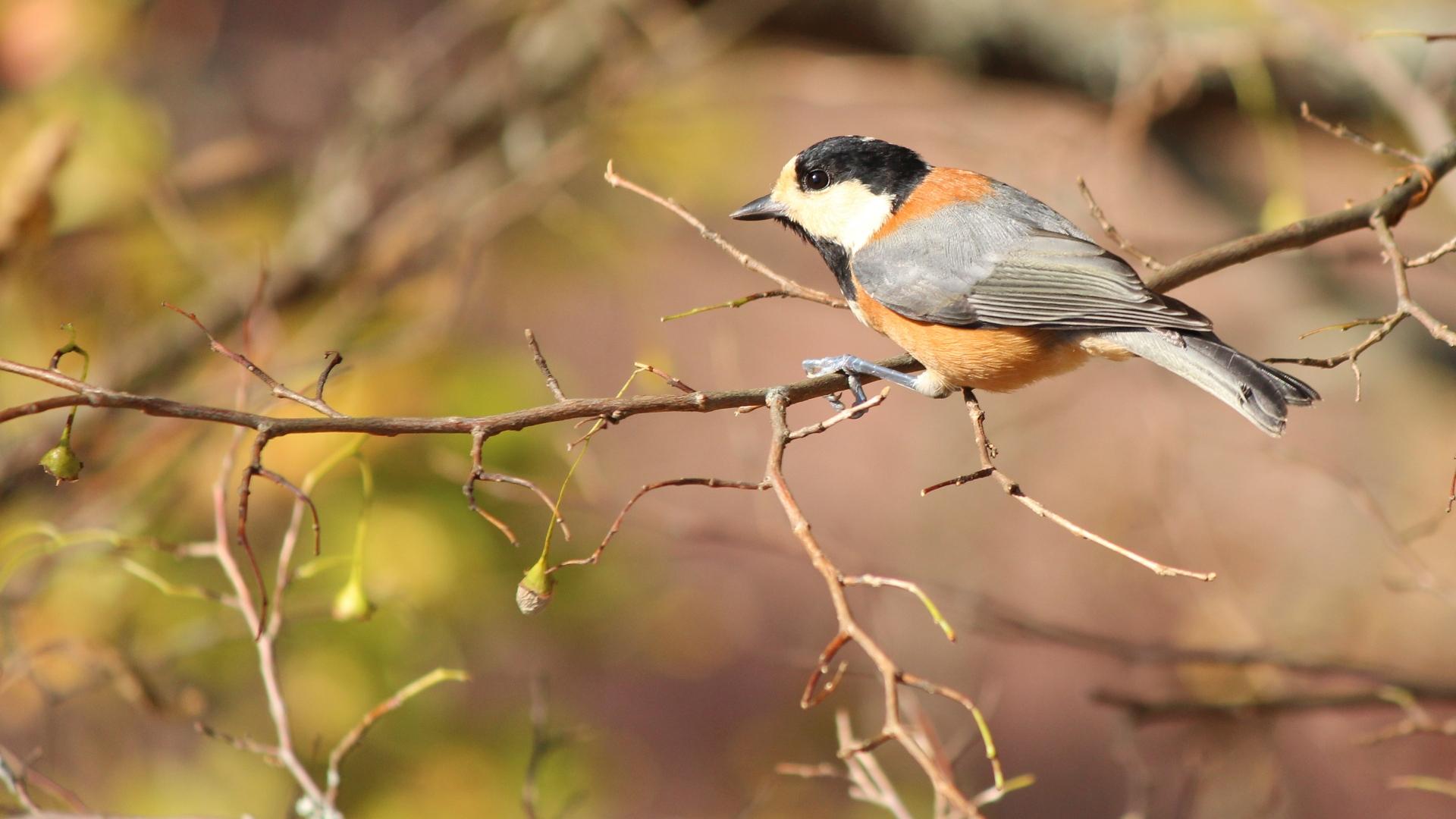 野鳥 ヤマガラ。 ( 鳥 ) - 休日、写真。 野鳥と動物編 - Yahoo!ブログ