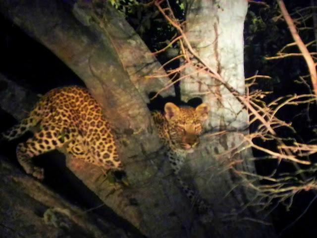 أفضل ما في أفريقيا  Best of Africa Leopard%252520in%252520tree