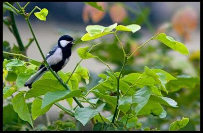 08-Oct-2011 Great Tit Pic: Sushil Katre