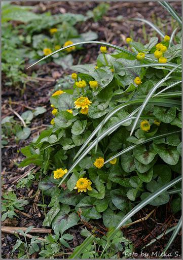 Ranunculus ficaria 'Collarette'.