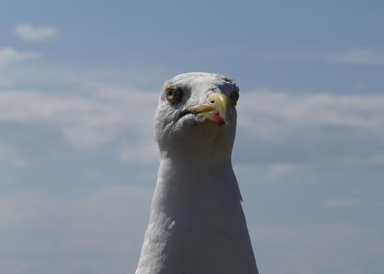 1576.jpg - Les oiseaux � Saint-Malo par Bretagne-web.fr