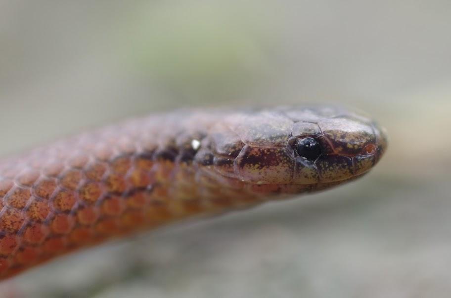 巧遇鐵線蛇