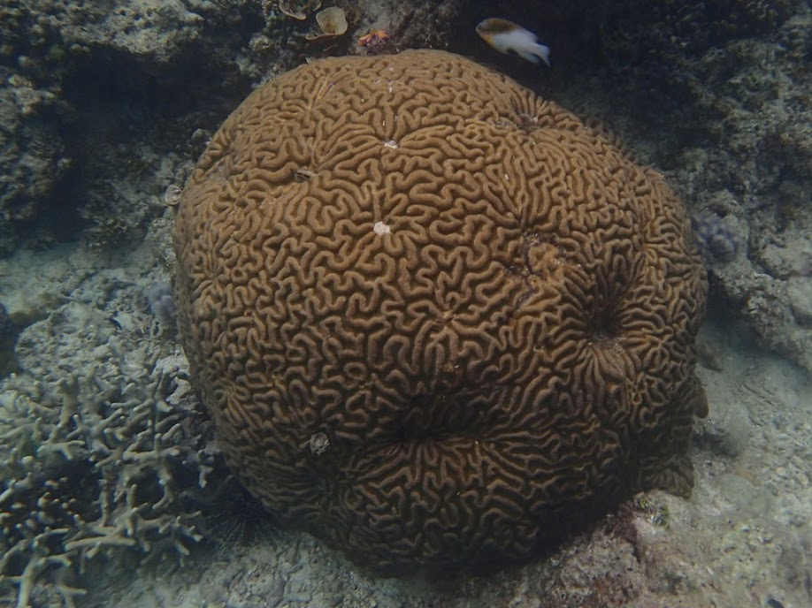 Brain Coral, Miniloc Island Resort reef, Palawan, Philippines.