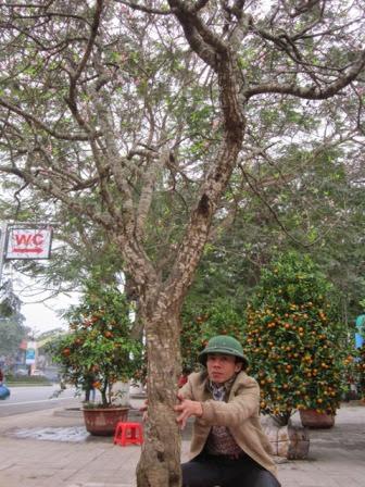 Chu vi thân cây khoảng 70cm.