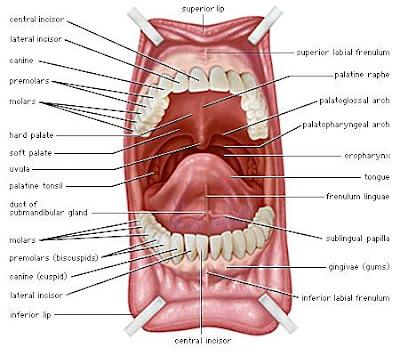 Mulut Organ Pencernaan Pada Manusia