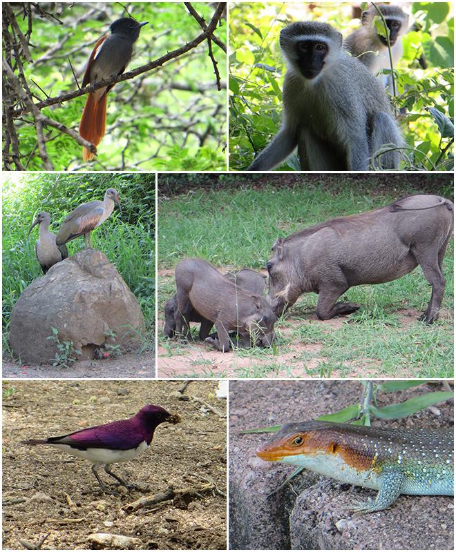 dieren binnen de hekken van Skukuza Restcamp, Kruger Park - Zuid Afrika