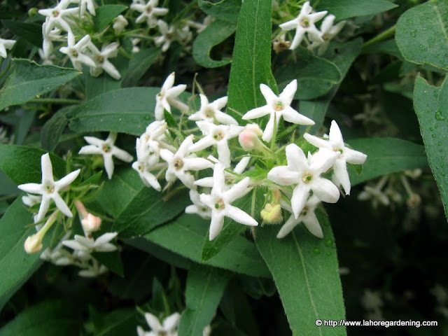 fragrant white flower alpine