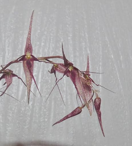 Pleurothallis schweinfurthii P1370030