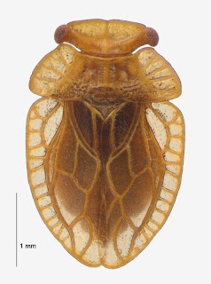 Xenophyes kinlochensis (Hemiptera: Peloridiidae). Photo BE Rhode, colour correction in collaboration with M-C Larivière.Citation: Larivière M-C, Burckhardt D, Larochelle A. 2011. Peloridiidae (Insecta: Hemiptera: Coleorrhyncha). Fauna of New Zealand 67. 78 pp. http://www.biotaxa.org/fnz/issue/view/431