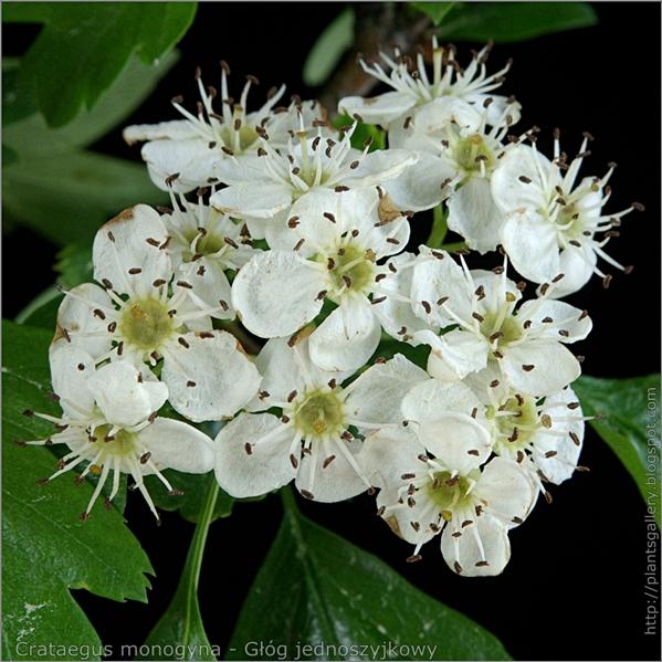 Crataegus monogyna - Głóg jednoszyjkowy kwiatostan