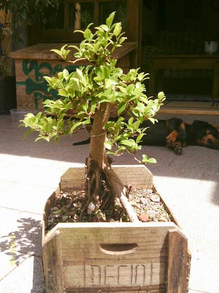 Ficus Microcarpa var. Indica... - Página 2 IMAG0037