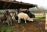Pasturage sheep Carpathians