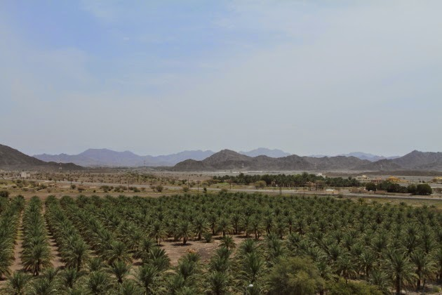 Lots of date palms as seen from the top of Jabrin castle, Oman