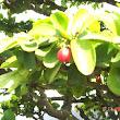 24 Malpighia glabra 4detail plod.JPG