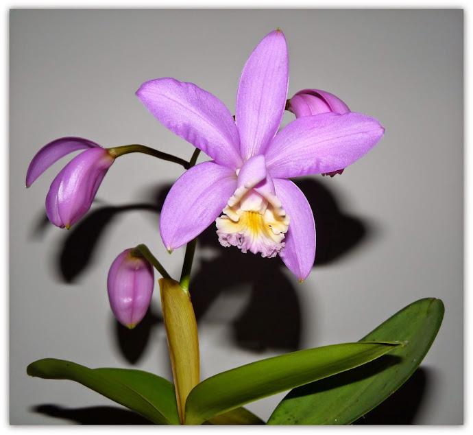 Cattleya harrisoniana P1430108