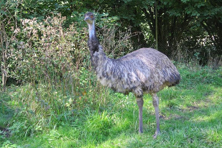 Und täglich grüßt der Emu