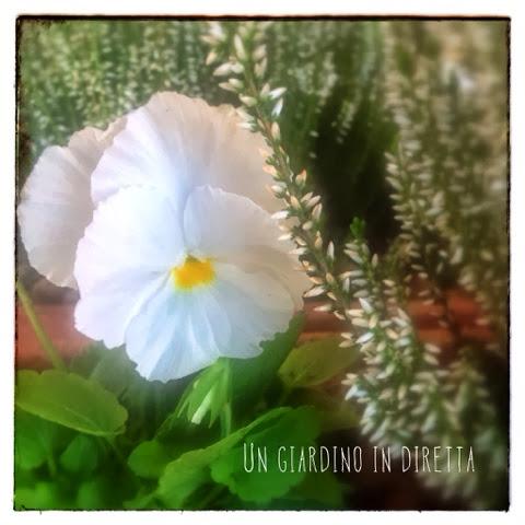 Viola del pensiero (Viola tricolor)