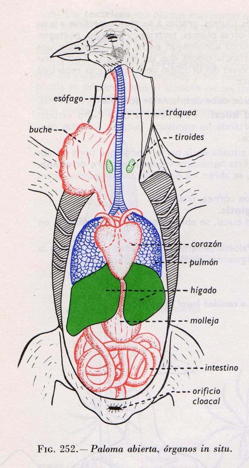 Vistoso Anatomía Interna Paloma Galería - Anatomía de Las ...