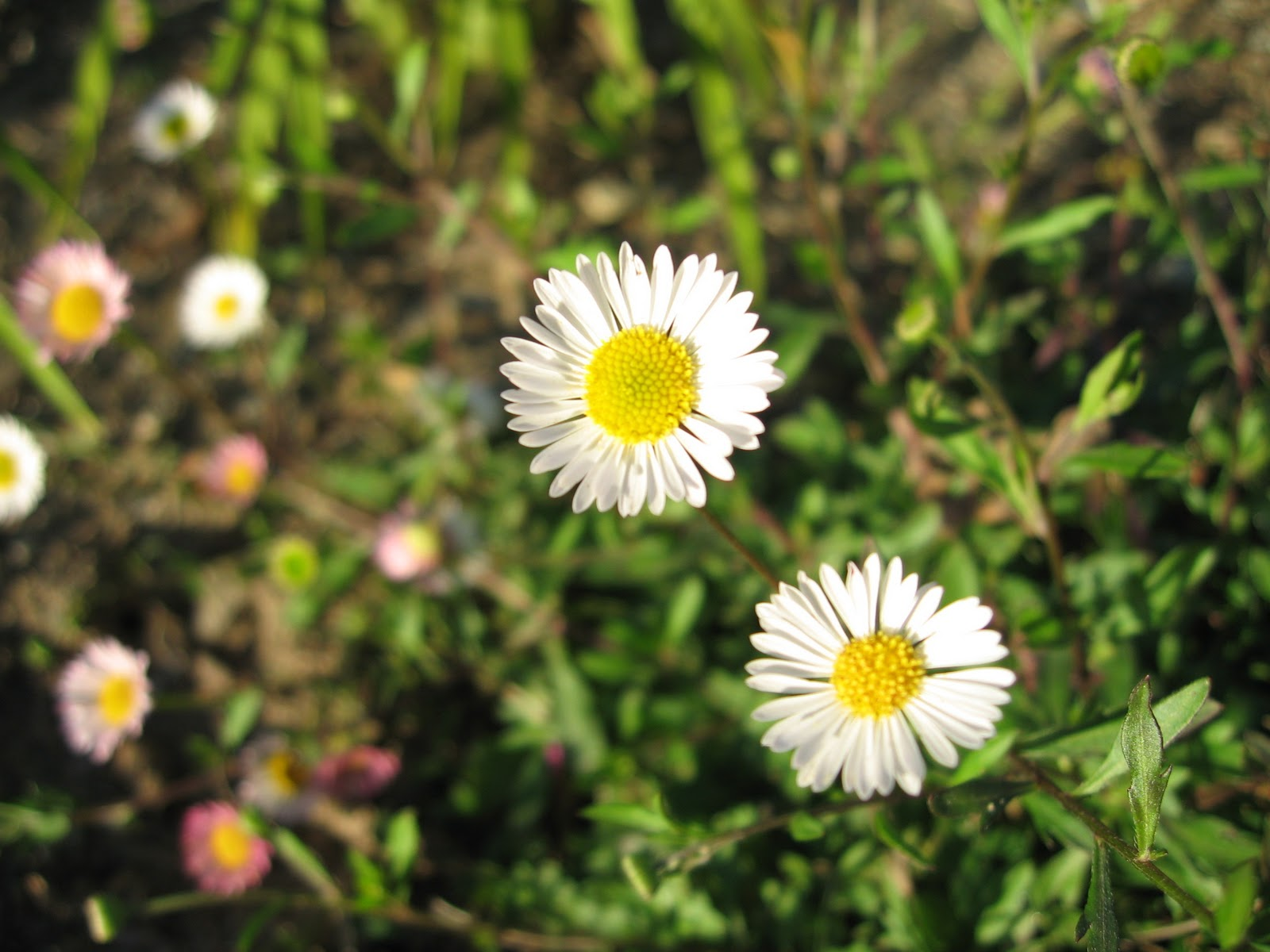 My california garden in zone 23 santa barbara daisy heres a spreading ground cover with a daisy like flower planted in the fall the strategically placed clumps quietly established themselves during our izmirmasajfo