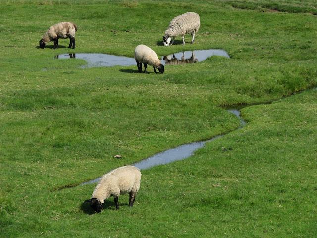 Ovce pri pobrezi