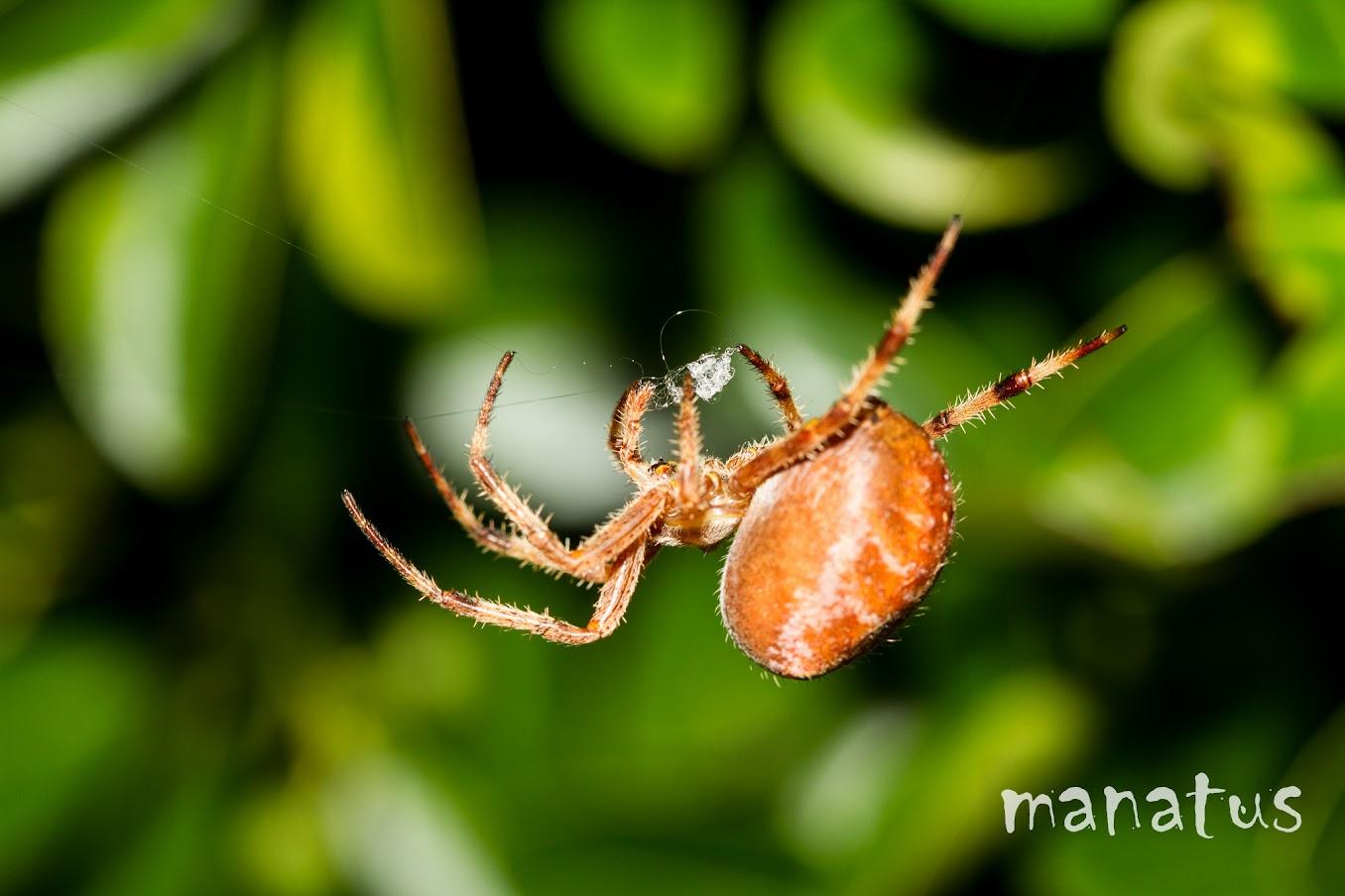 manatus foto blog araña