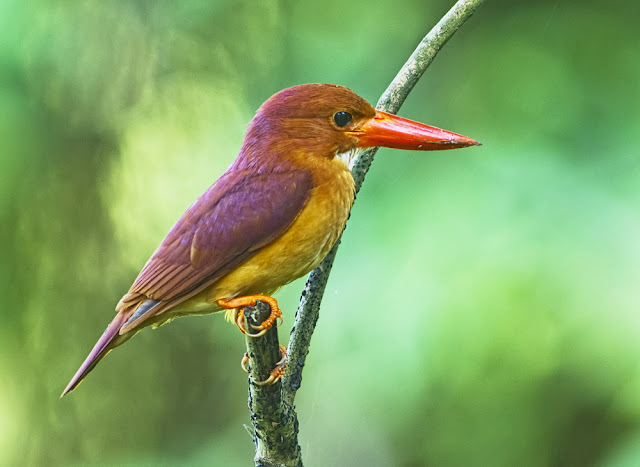 Bird Watching : Ruddy Kingfisher