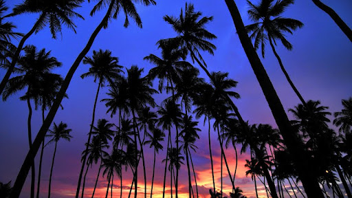 Palm Trees, Wadduwa, Sri Lanka.jpg