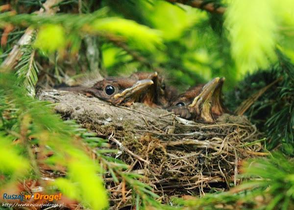 ptaszki w gnieździe